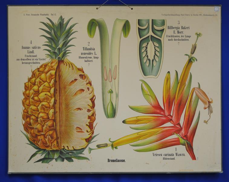 Nett Anatomie Der Ananas Fotos - Anatomie Von Menschlichen ...